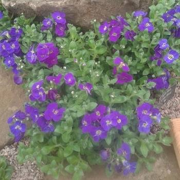 AUBRIETA Kitte Blue