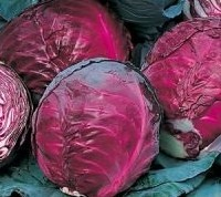 Cabbage Red Drumhead seeds