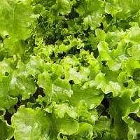 Lettuce - Green Salad Bowl  seeds