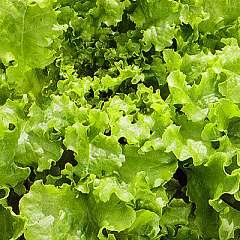 LETTUCE - Green Salad Bowl   - 500 seeds