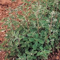 Marjoram White - Origanum vulgare seeds