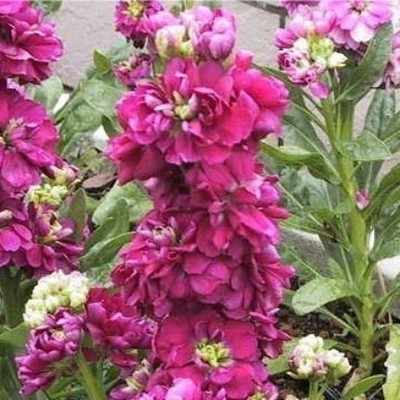 Stocks - Beauty of Nice - Mixed - annual - 100 seeds