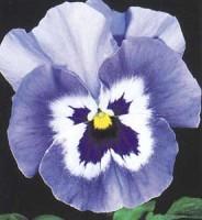 Pansy Joker light blue seeds
