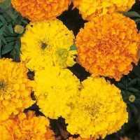 Marigold Crackerjack mix Seeds