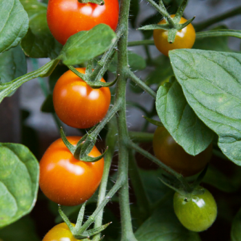 Free tomato seeds throughout February