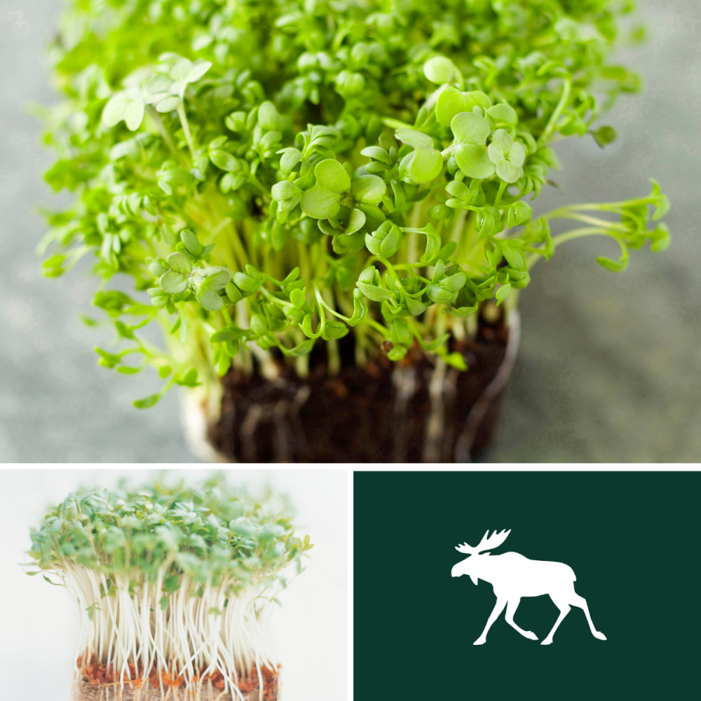 2 packs Cress seed - Fine curled and Common