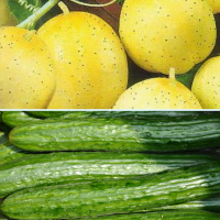 2 packs Cucumber seeds - Lemon cucumber and Marketmore