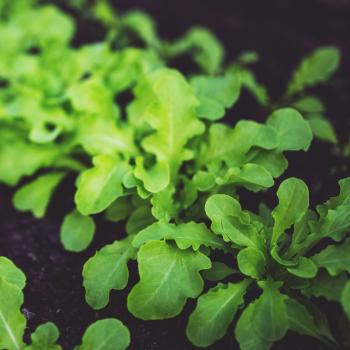 2 packs Rocket Eruca Seeds - Spicy Salad Crop