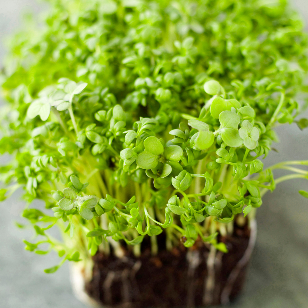 4 packs Cress - Fine curled seeds [Quick Grow]