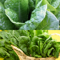 2 packs Spinach - Medania and Emilia F1 seeds