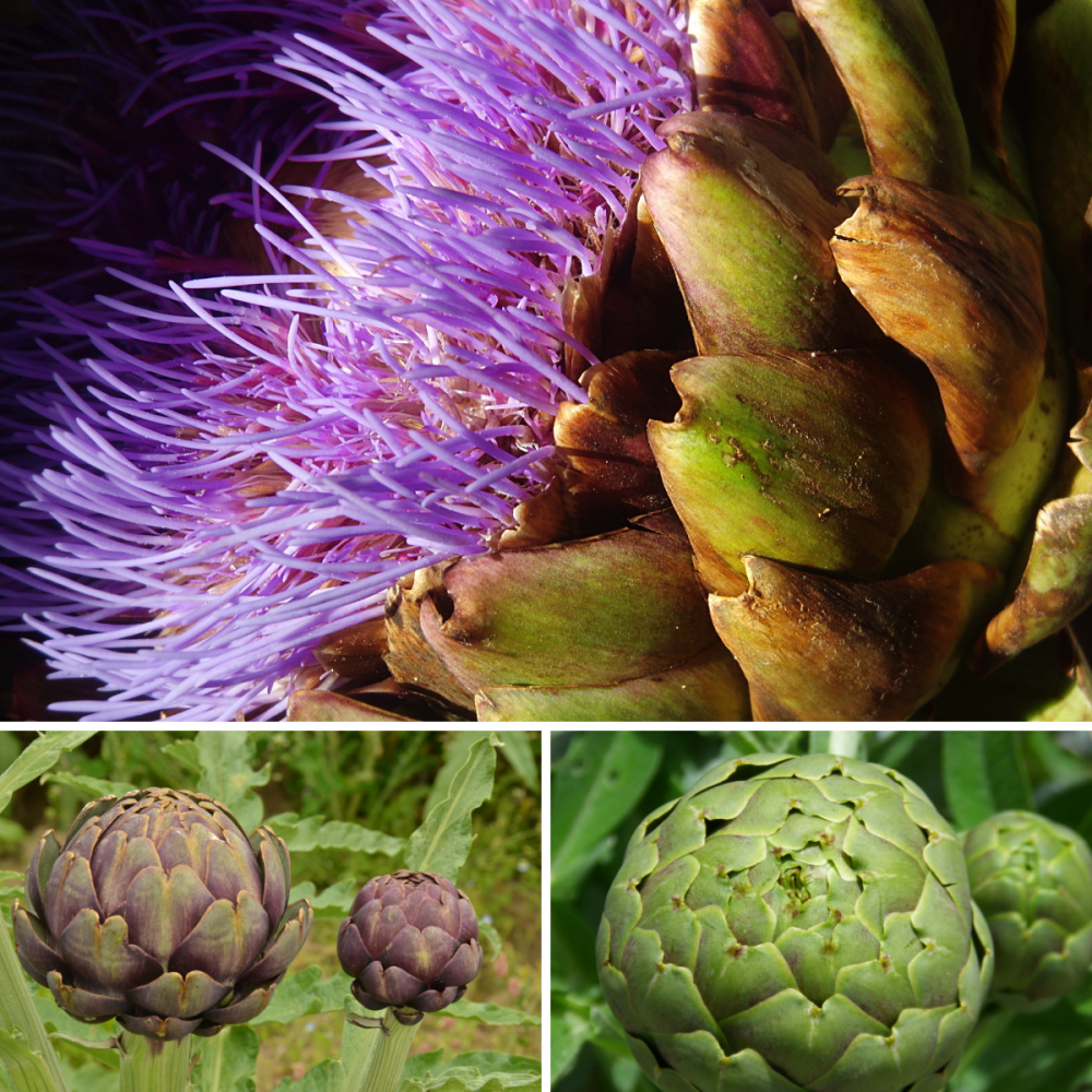 3 packs - Artichoke Violet, artichoke green globe and Cardoon seeds