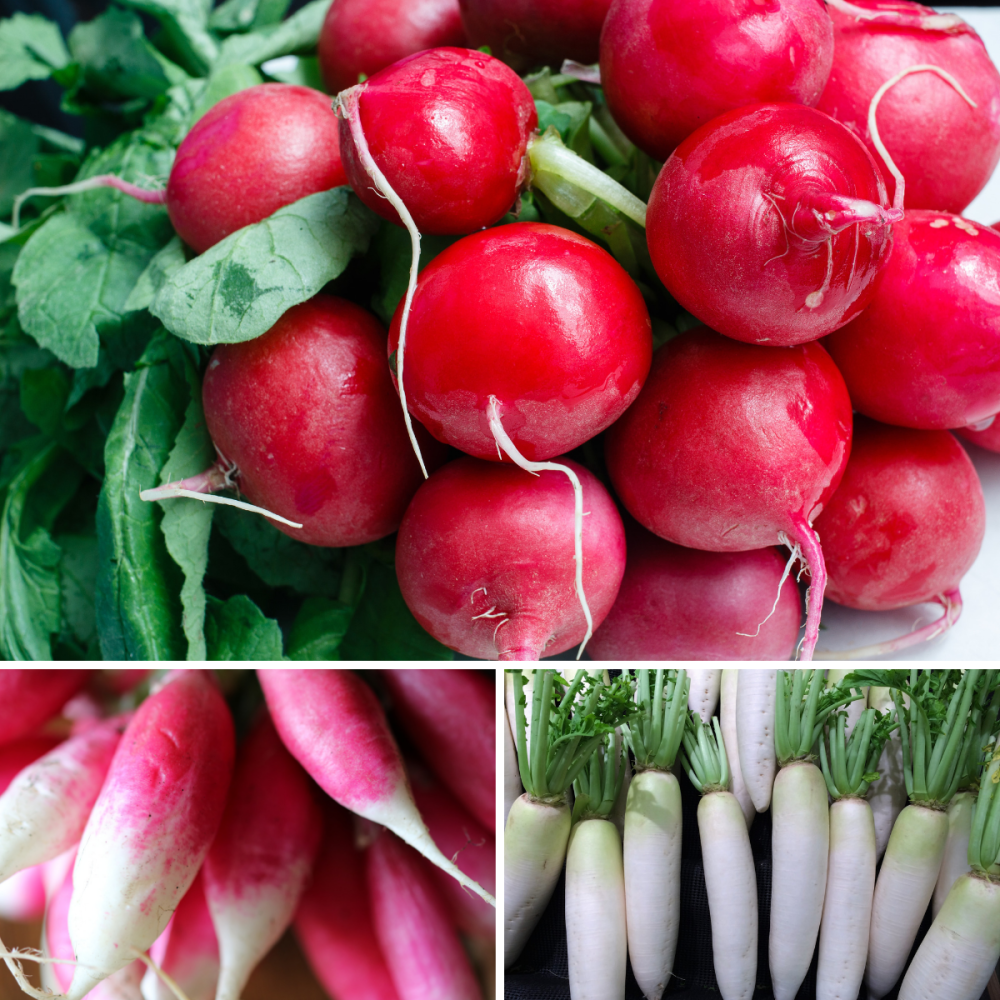 3 pack Radish seeds - french breakfast, white icicle and cherry belle