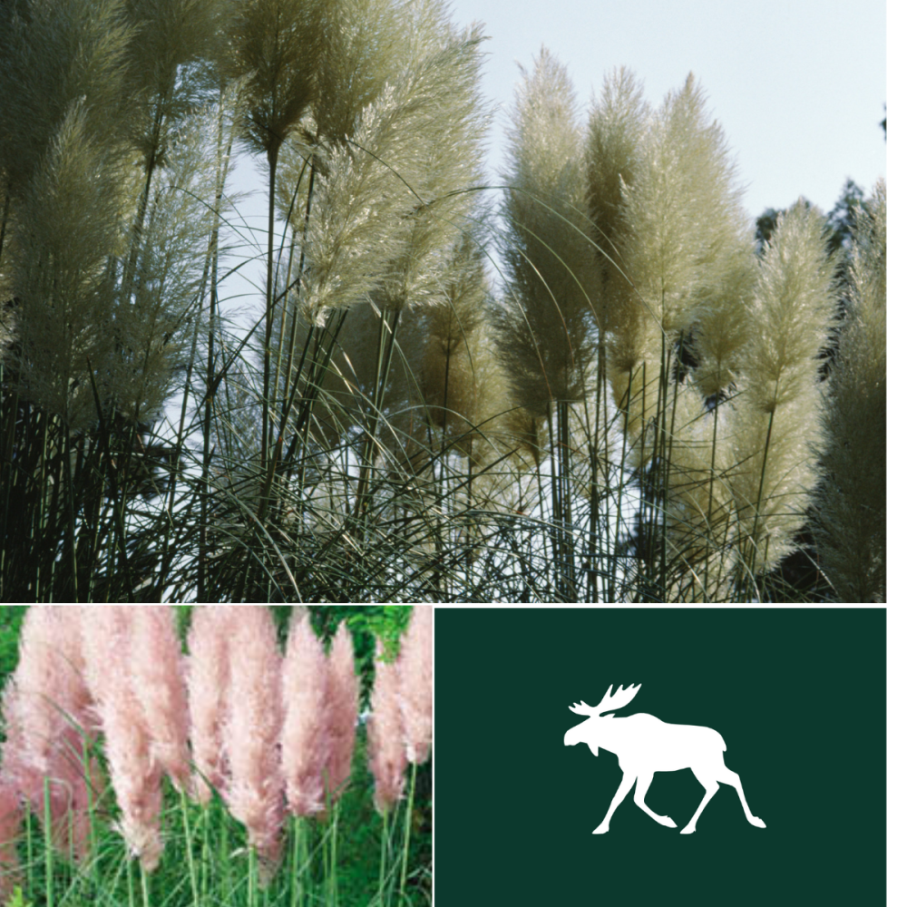 2 Packs Pampas Grass seeds - Pink and White Feather