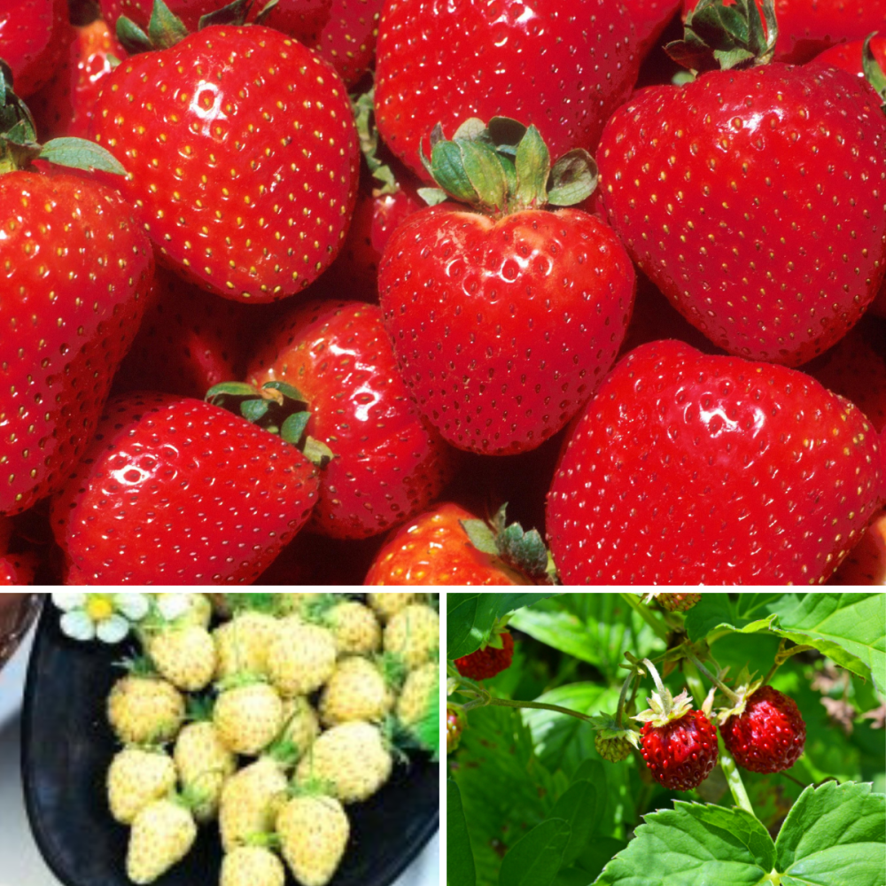 3 pack Strawberry seeds - Wild strawberry, Yellow wonder and Temptation