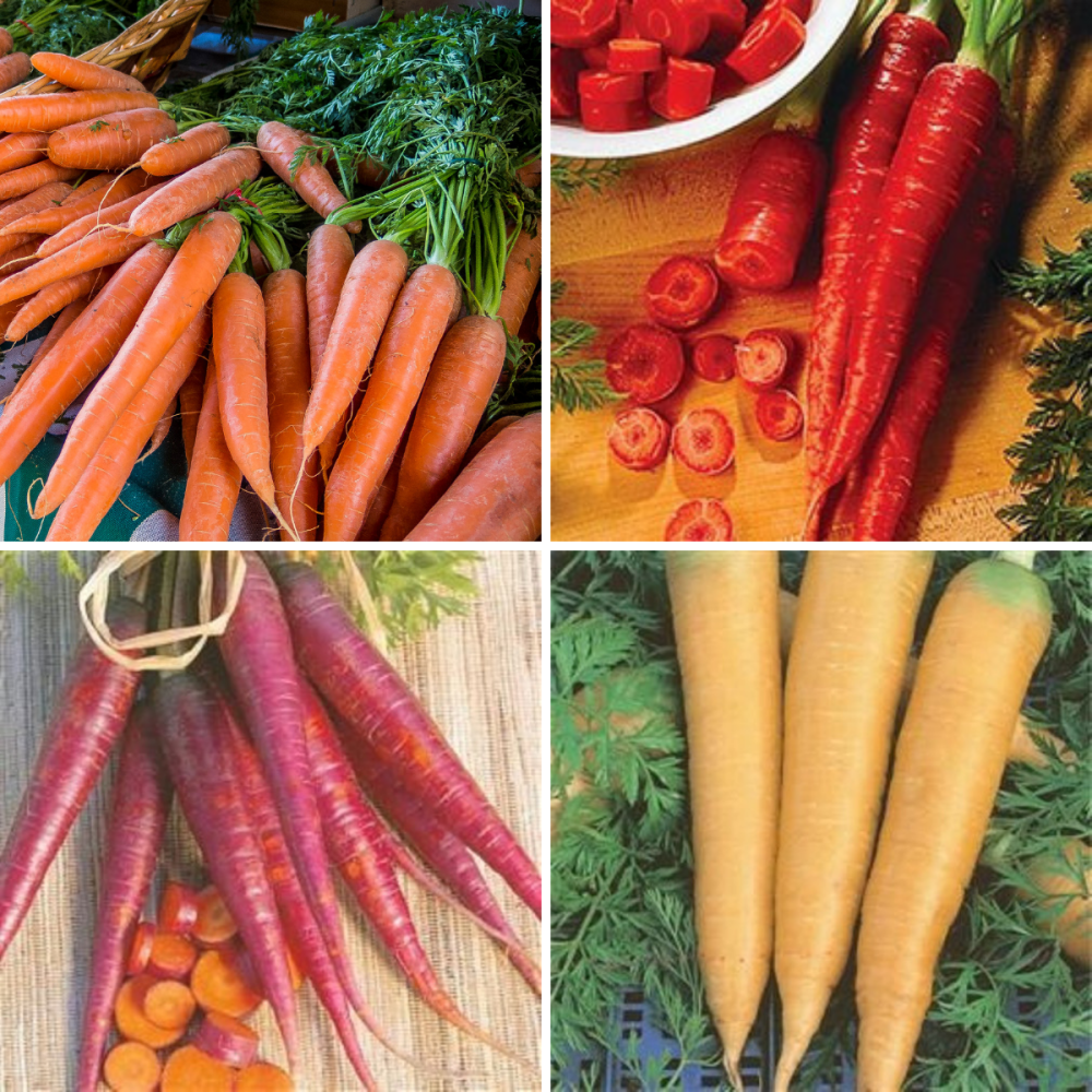 4 Pack carrot Seeds - Early Nantes, Purple, Yellow , Red