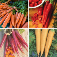 4 packs carrot Seeds - Nantes, Purple, Yellow, Red