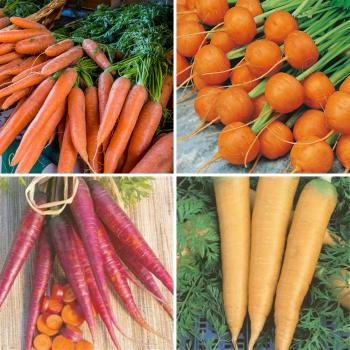 4 packs carrot Seeds - Nantes, Purple, Yellow, Round