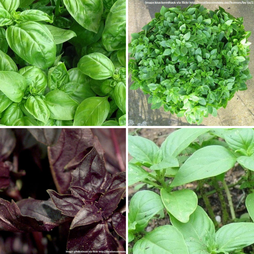 4 pack Basil seeds - Red, Greek, Sweet and Lime