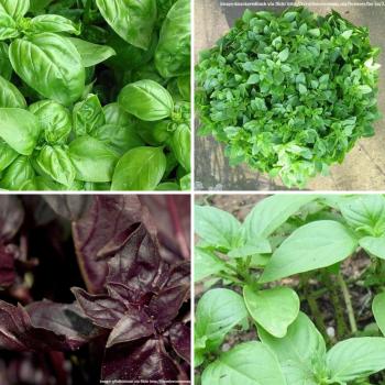 4 packs Basil seeds - Red, Greek, Sweet and Lemon
