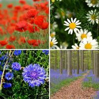 4 packs flower seeds - Bluebell, Chamomile, Cornflower, Poppy