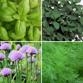 4 packs herb seeds collection 002 - Chive, Basil, Marjoram, Dill
