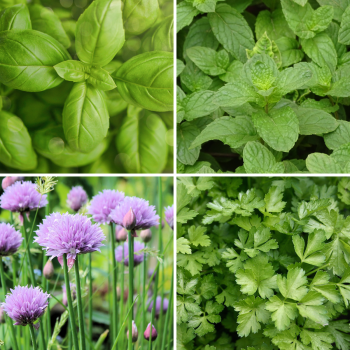 4 packs herb seeds collection 003 Chive, Peppermint, Basil, Parsley