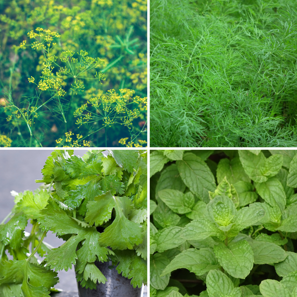 4 packs herb seeds collection 004 Fennel, Dill, Coriander, PepperMint