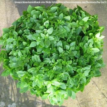Basil Bush seeds