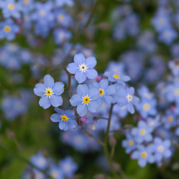 10 packs Forget me not flower seeds - Myosotis - bulk buy