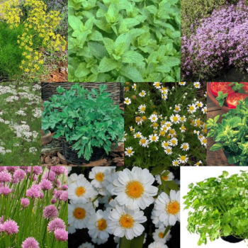 10 Packs Herb Seeds - Herb Garden Collection 2 Anise, Feverfew, Thyme etc