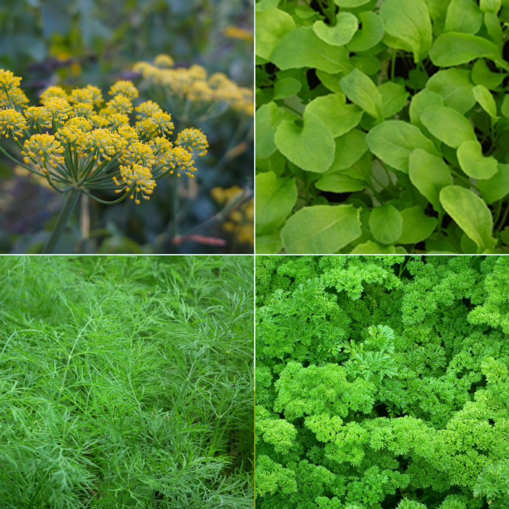 4 packs herb seeds collection 001 - Fennel, Dill, rocket, Parsley