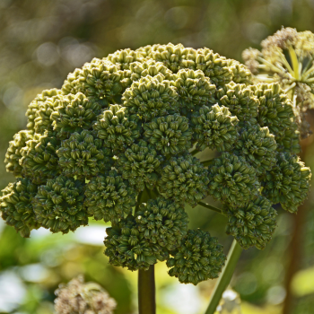 Angelica - archangelica seeds