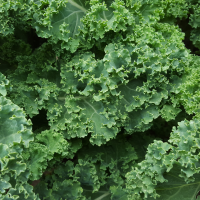 Borecole / Kale - Dwarf Green Curled seeds