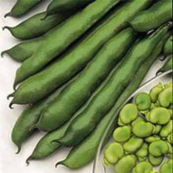 Broad Bean - Imperial green - longpod Seeds