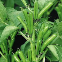 Broad Bean - The Sutton Dwarf seeds