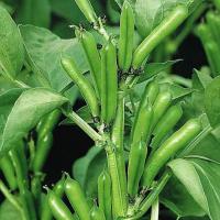Broad Bean The Sutton Dwarf seeds
