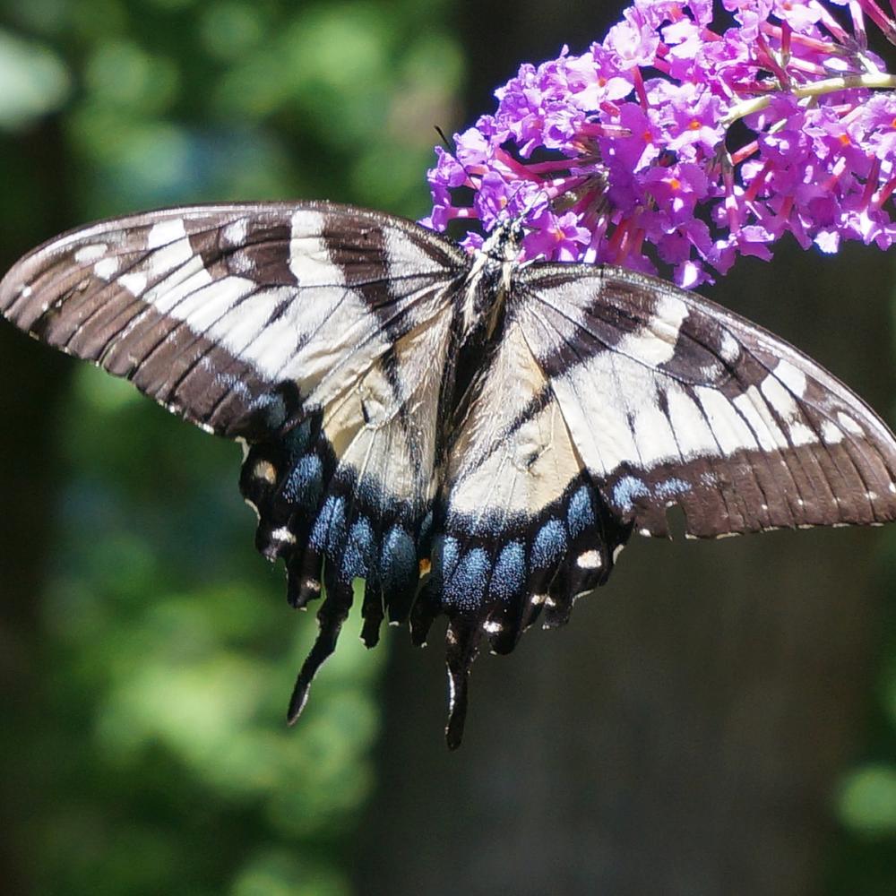 Buddleia - Butterfly Bush  seeds