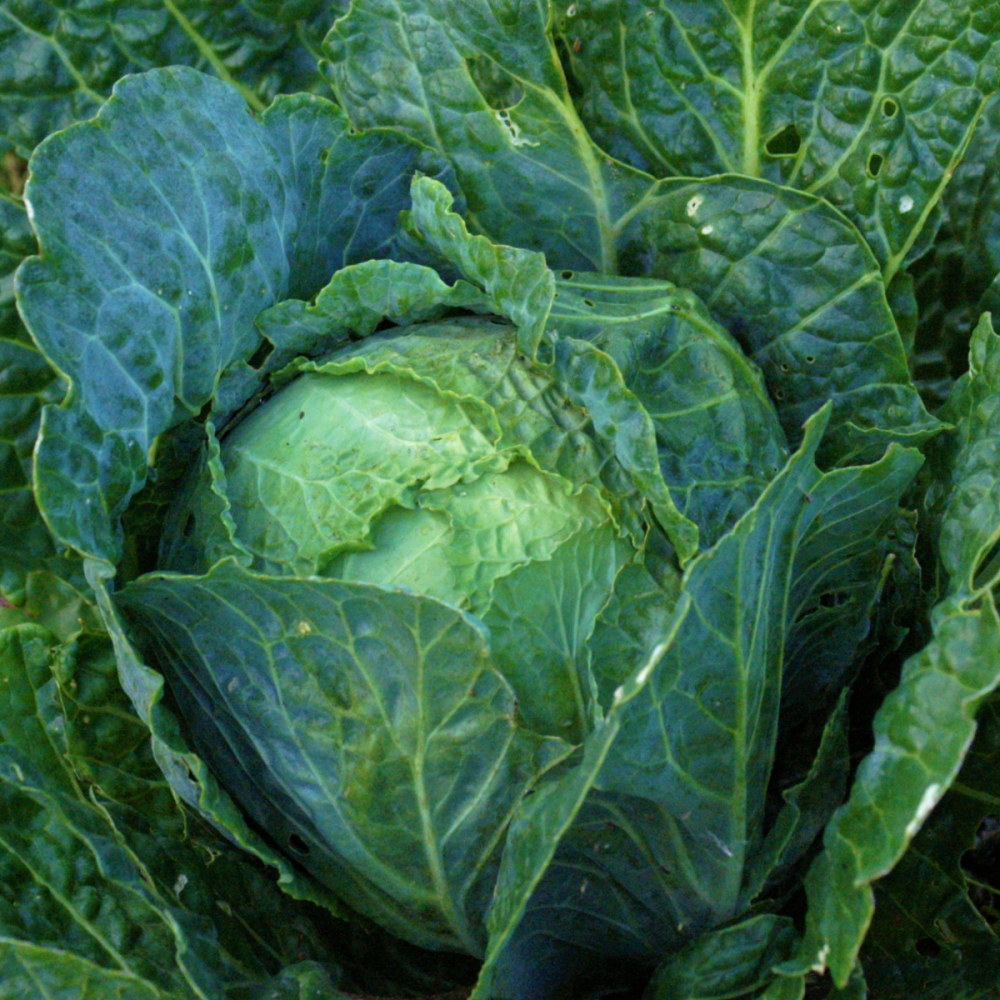 Cabbage -  January King extra late seeds