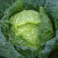 Cabbage Ormskirk Savoy seeds