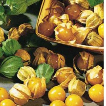 Cape Gooseberry Dwarf - Physalis pruinosa seeds