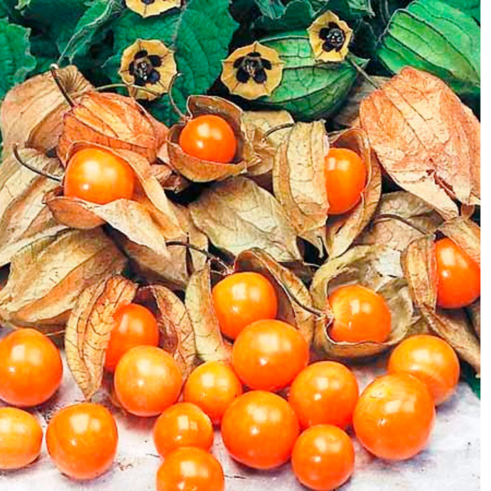 Cape Gooseberry Giant - Physalis peruviana seeds