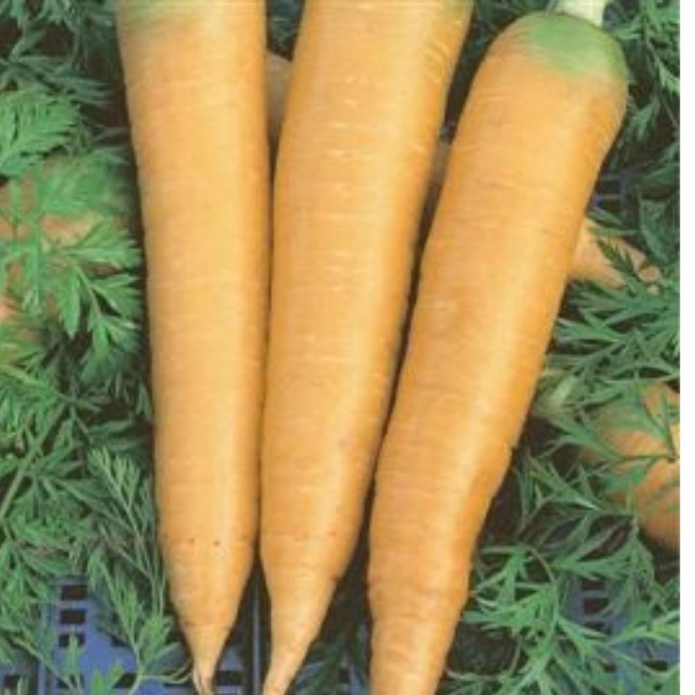 Carrot - Solar Yellow Seeds