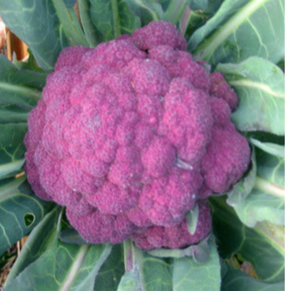 Cauliflower - Violetta of Sicily seeds