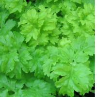 Celery Green soup Seeds