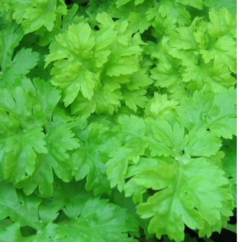 Celery - Green soup Seeds