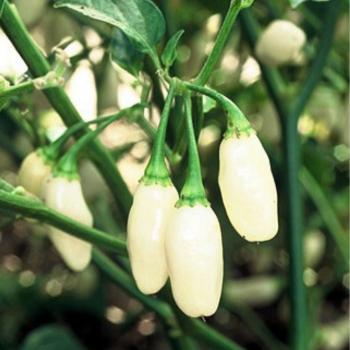 Chilli Pepper Habanero White seeds