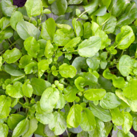 Cress American Land cress seeds