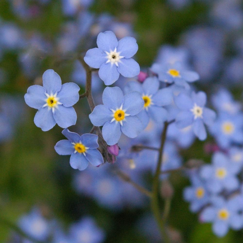 Forget me not Myosotis arvensis wildflower seeds