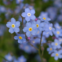 Forget me not Myosotis arvensis wildflower seeds