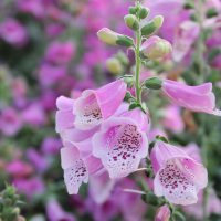 Foxglove seeds - Digitalis Foxy Dwarf mix seeds